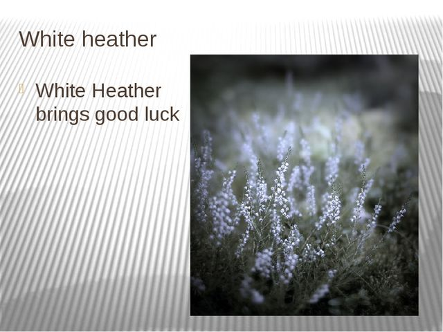 White heather White Heather brings good luck
