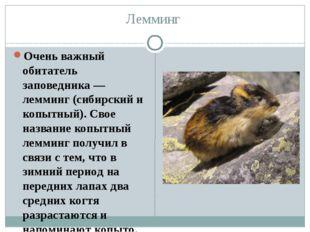 Лемминг Очень важный обитатель заповедника — лемминг (сибирский и копытный).