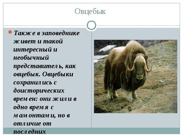 Овцебык Также в заповеднике живет и такой интересный и необычный представител...