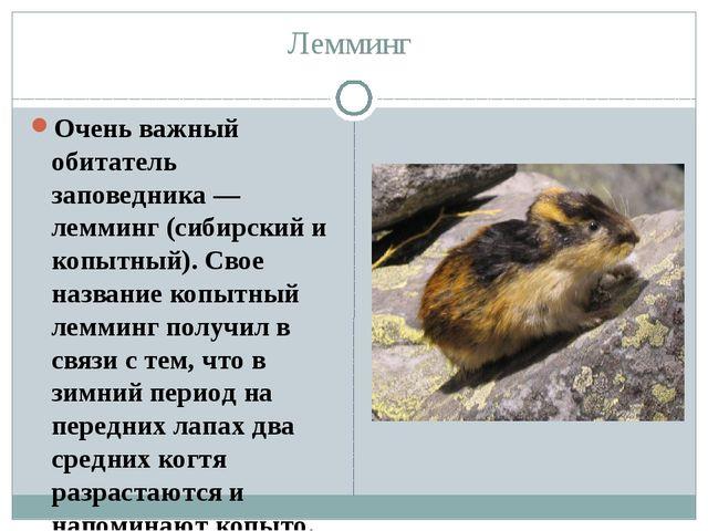 Лемминг Очень важный обитатель заповедника — лемминг (сибирский и копытный)....