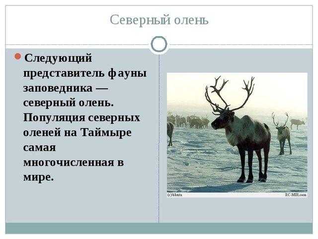 Северный олень Следующий представитель фауны заповедника — северный олень. По...