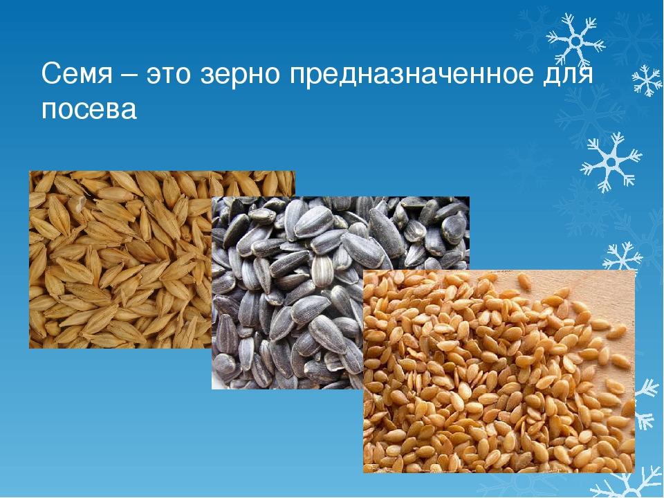 Семя – это зерно предназначенное для посева