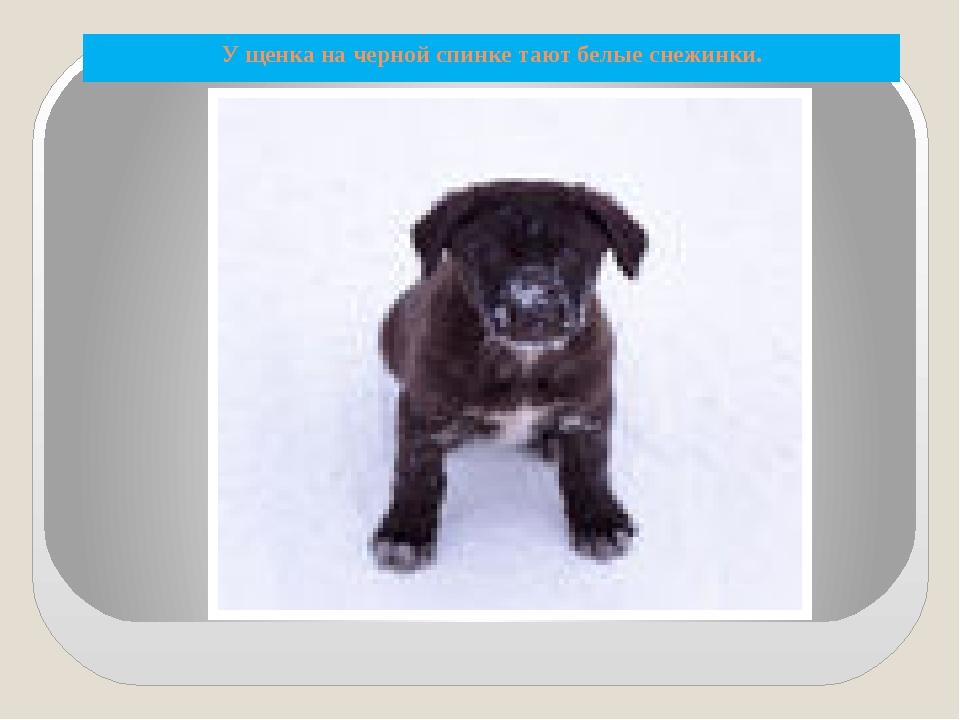 У щенка на черной спинке тают белые снежинки.