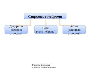 Учитель биологии Деулина Ирина Юрьевна Строение нейрона Дендриты (короткие от
