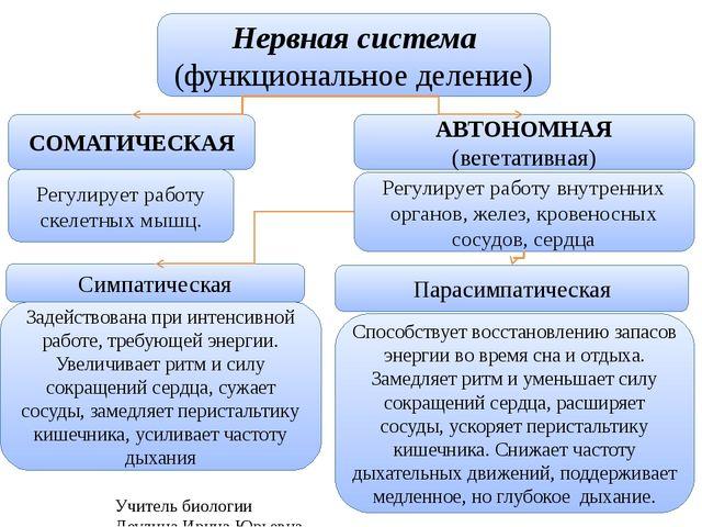 Учитель биологии Деулина Ирина Юрьевна Нервная система (функциональное делени...