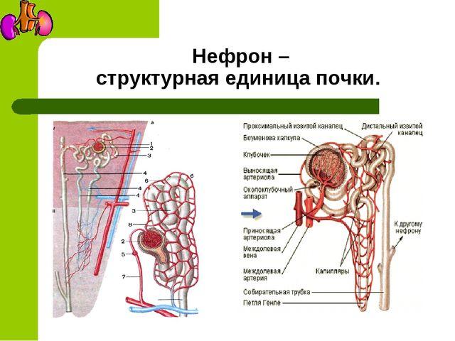 Нефрон – структурная единица почки.