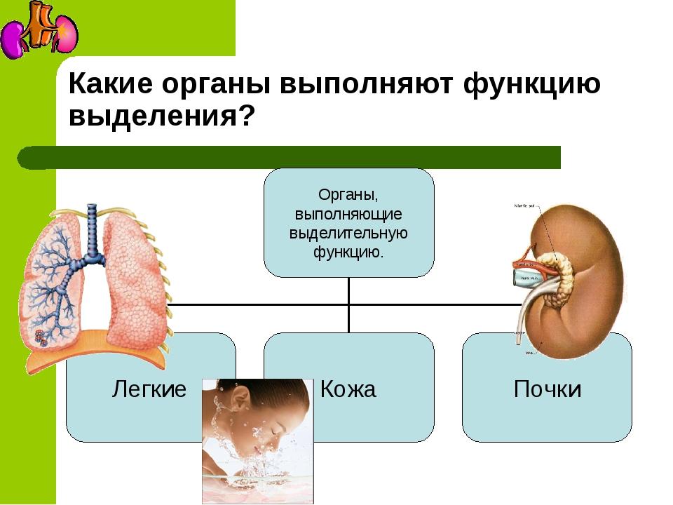 Какие органы выполняют функцию выделения?