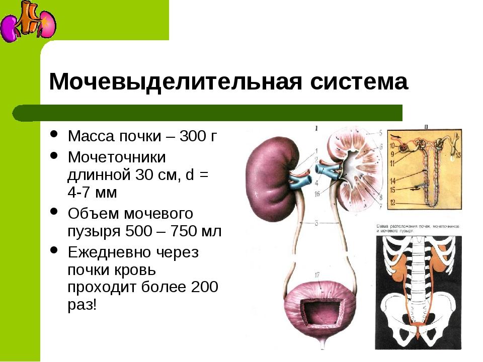Мочевыделительная система Масса почки – 300 г Мочеточники длинной 30 см, d =...
