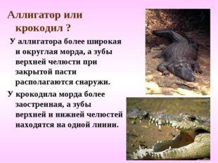 Аллигатор или крокодил ? У аллигатора более широкая и округлая морда, а зубы