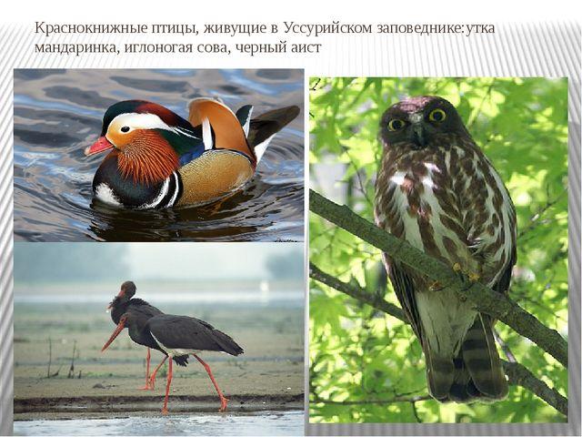 Краснокнижные птицы, живущие в Уссурийском заповеднике:утка мандаринка, иглон...