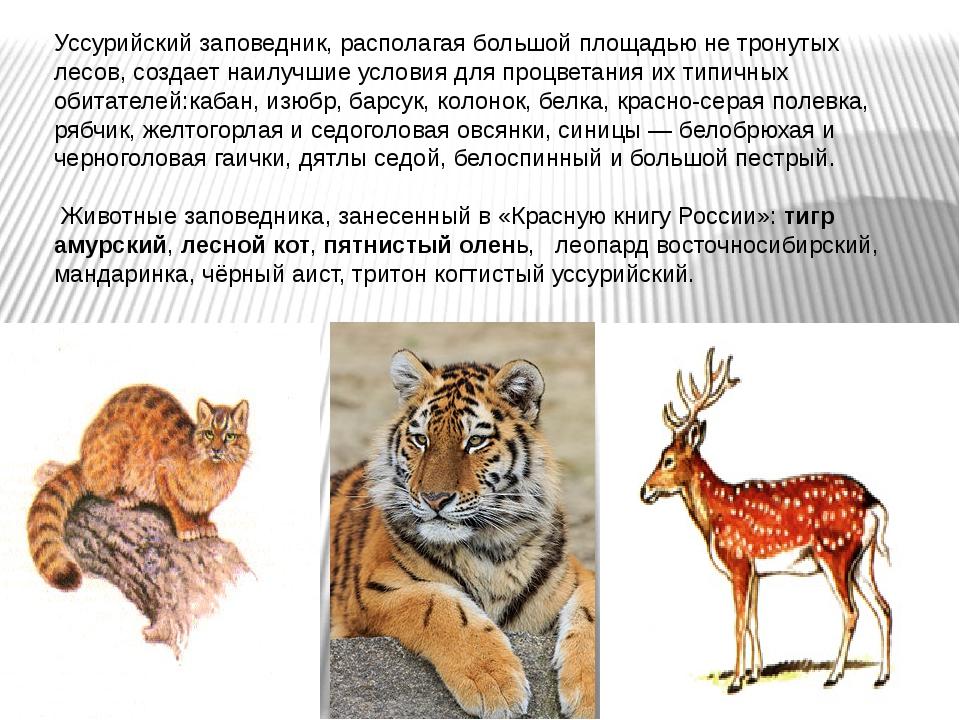 Уссурийский заповедник, располагая большой площадью не тронутых лесов, создае...