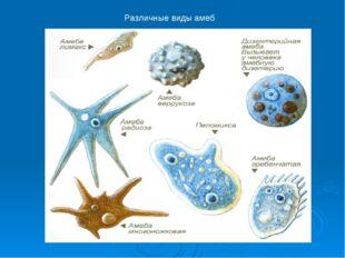 Различные виды амеб