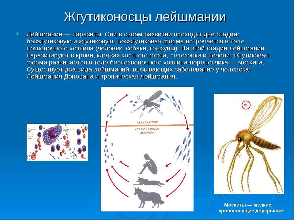 Жгутиконосцы лейшмании Лейшмании — паразиты. Они в своем развитии проходят дв...