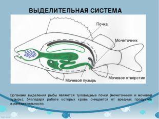 ВЫДЕЛИТЕЛЬНАЯ СИСТЕМА Органами выделения рыбы являются туловищные почки (моче