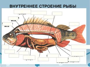 ВНУТРЕННЕЕ СТРОЕНИЕ РЫБЫ Жабры Плавательный пузырь Головной мозг Спинной мозг