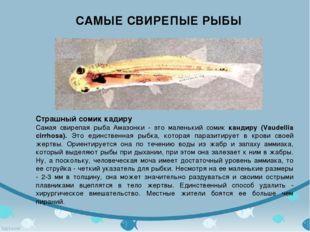 САМЫЕ СВИРЕПЫЕ РЫБЫ Страшный сомик кадиру Самая свирепая рыба Амазонки - это