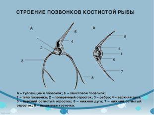 А – туловищный позвонок; Б – хвостовой позвонок: 1 – тело позвонка; 2 – попер