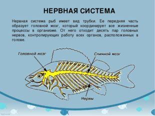 НЕРВНАЯ СИСТЕМА Нервная система рыб имеет вид трубки. Ее передняя часть образ