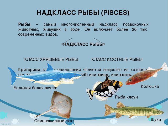 НАДКЛАСС РЫБЫ (PISCES) Рыбы – самый многочисленный надкласс позвоночных живот...
