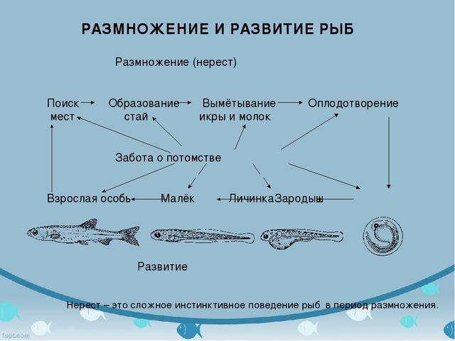 РАЗМНОЖЕНИЕ И РАЗВИТИЕ РЫБ Размножение (нерест) Поиск Образование Вымёты...