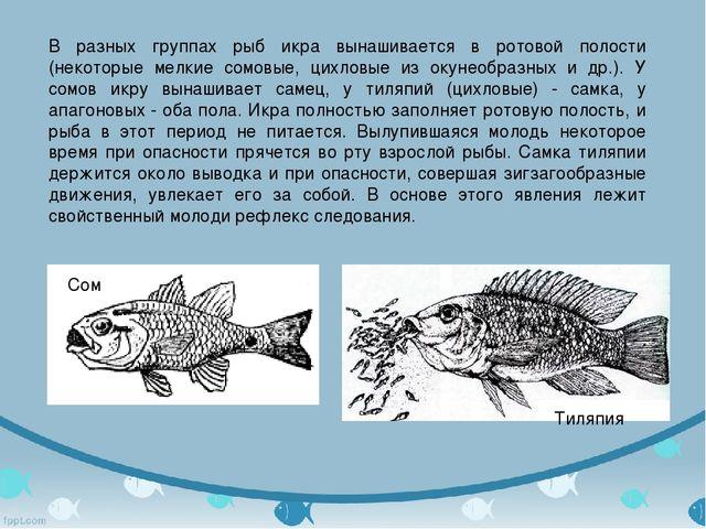 В разных группах рыб икра вынашивается в ротовой полости (некоторые мелкие со...