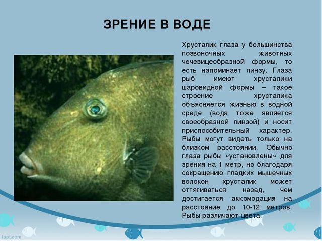 Зрение в воде Хрусталик глаза у большинства позвоночных животных чечевицеобра...