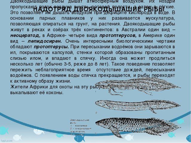 Двоякодышащие рыбы дышат атмосферным воздухом. Их ноздри пропускают поток воз...