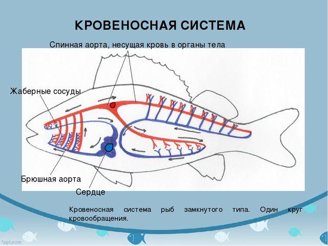 КРОВЕНОСНАЯ СИСТЕМА Кровеносная система рыб замкнутого типа. Один круг кровоо...
