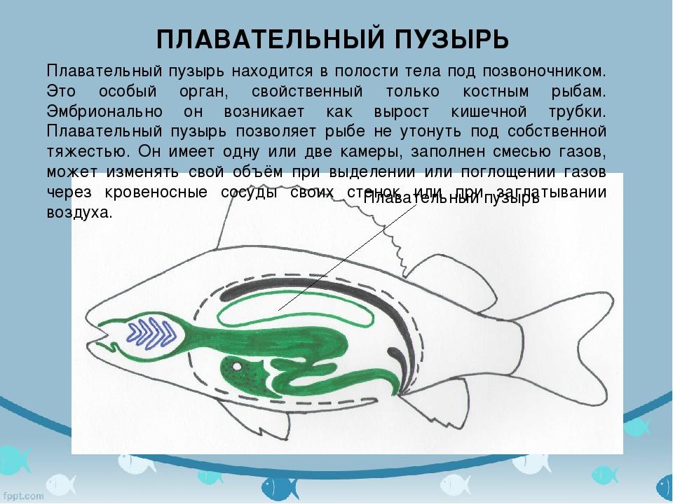 Плавательный пузырь ПЛАВАТЕЛЬНЫЙ ПУЗЫРЬ Плавательный пузырь находится в полос...