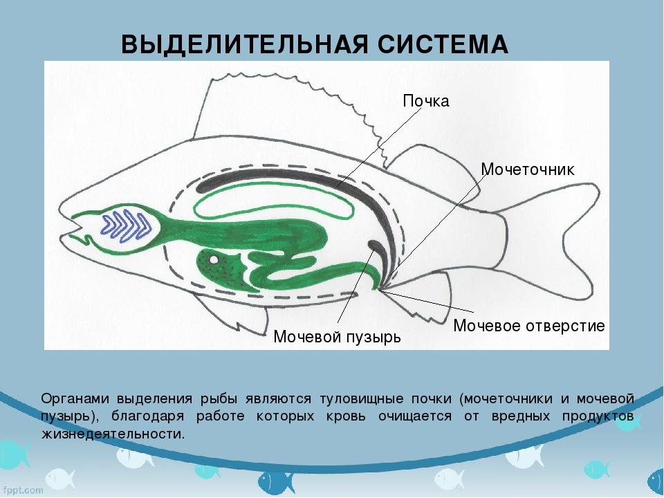 ВЫДЕЛИТЕЛЬНАЯ СИСТЕМА Органами выделения рыбы являются туловищные почки (моче...