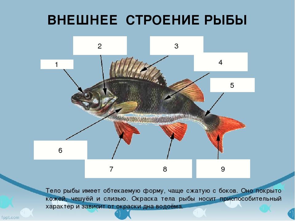 ВНЕШНЕЕ СТРОЕНИЕ РЫБЫ Тело рыбы имеет обтекаемую форму, чаще сжатую с боков....