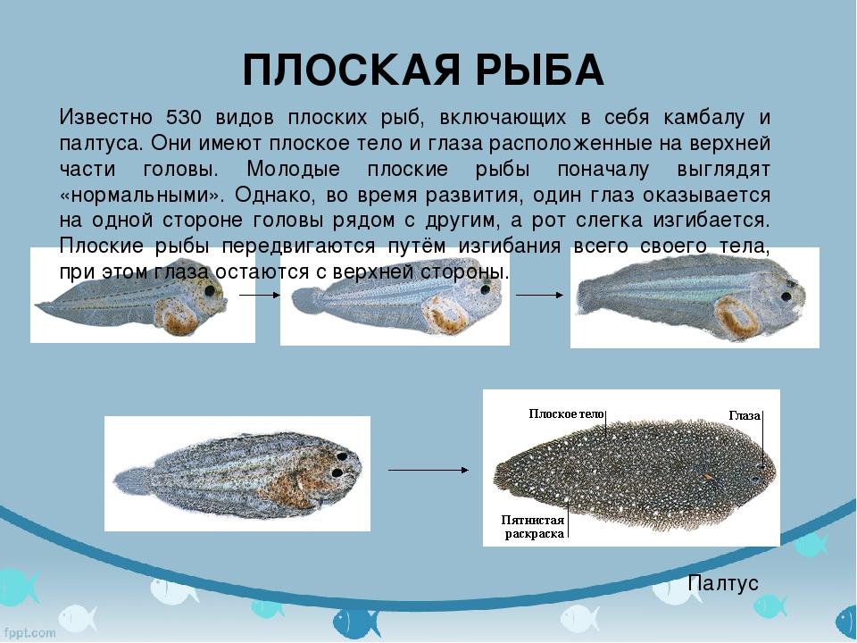 ПЛОСКАЯ РЫБА Палтус Известно 530 видов плоских рыб, включающих в себя камбалу...