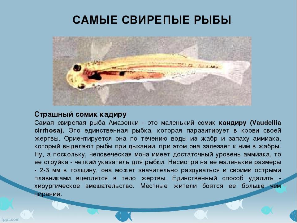 САМЫЕ СВИРЕПЫЕ РЫБЫ Страшный сомик кадиру Самая свирепая рыба Амазонки - это...