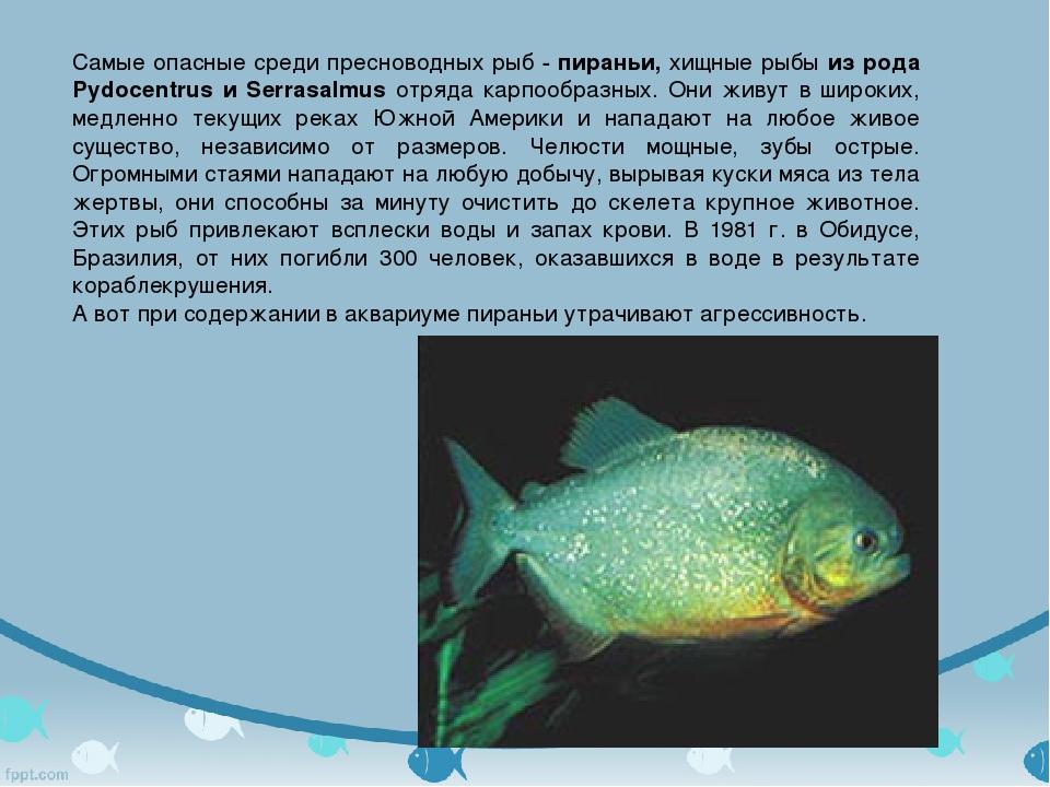 Самые опасные среди пресноводных рыб - пираньи, хищные рыбы из рода Pydocent...