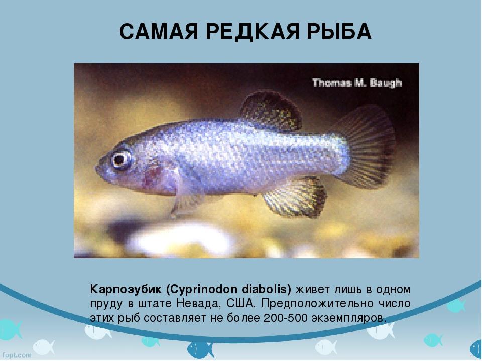 Карпозубик (Cyprinodon diabolis) живет лишь в одном пруду в штате Невада, СШ...