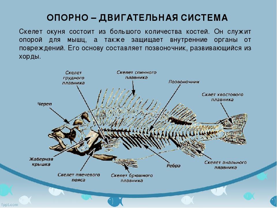 ОПОРНО – ДВИГАТЕЛЬНАЯ СИСТЕМА Скелет окуня состоит из большого количества кос...