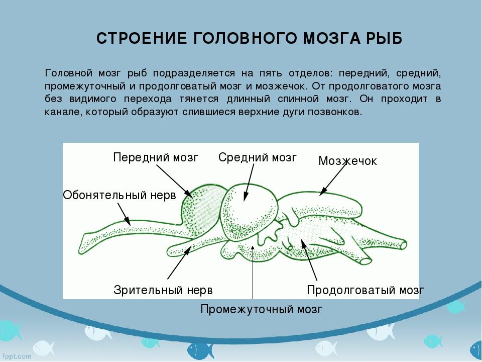 Головной мозг рыб подразделяется на пять отделов: передний, средний, промежут...
