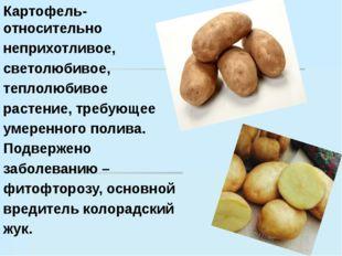 Картофель- относительно Картофель- относительно неприхотливое, светолюбиво