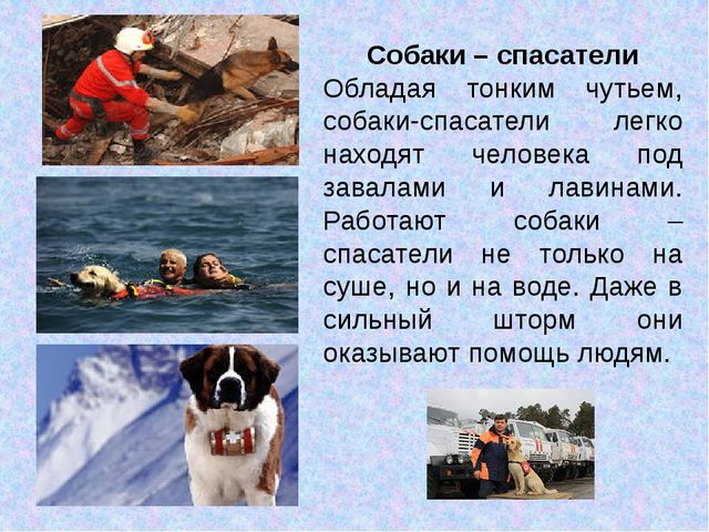 Собаки – спасатели Обладая тонким чутьем, собаки-спасатели легко находят чело...
