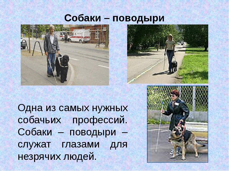 Собаки – поводыри Одна из самых нужных собачьих профессий. Собаки – поводыри...