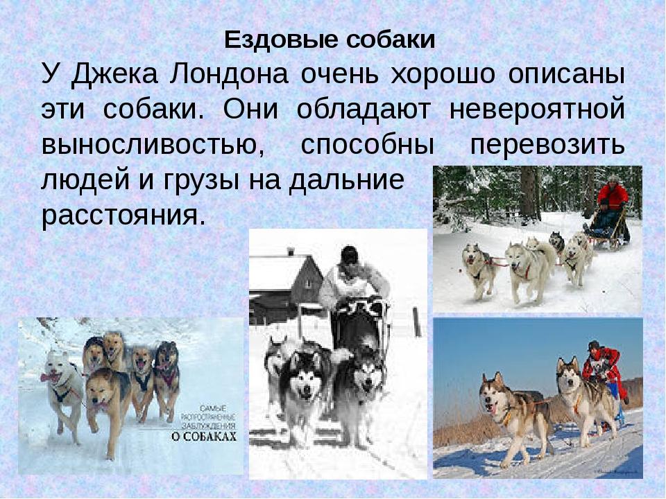Ездовые собаки У Джека Лондона очень хорошо описаны эти собаки. Они обладают...