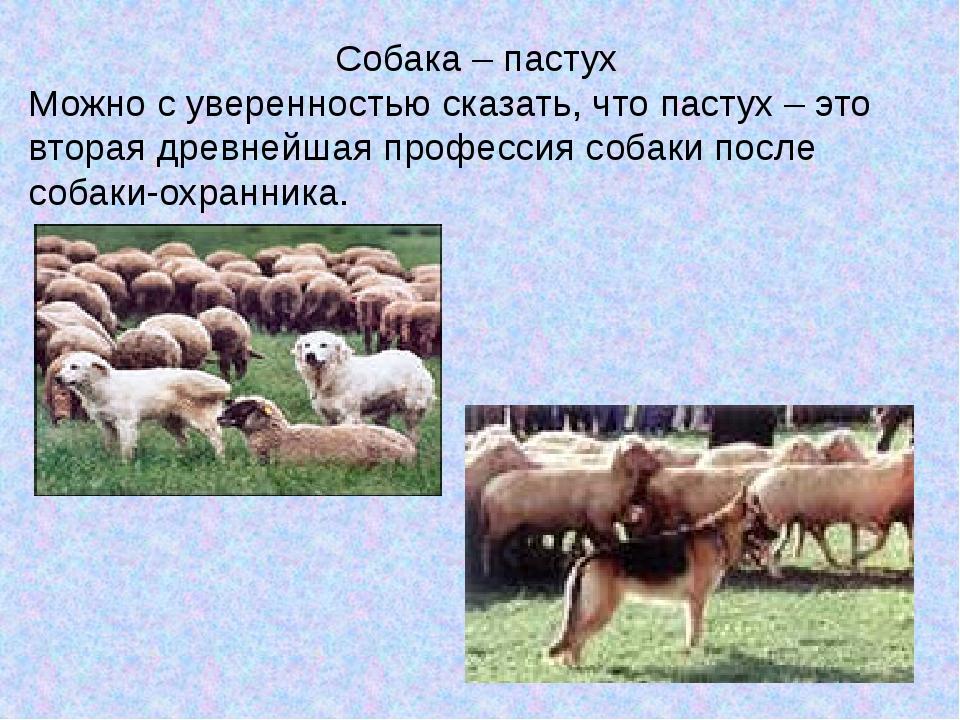 Собака – пастух Можно с уверенностью сказать, что пастух – это вторая древне...