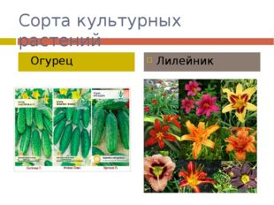 Сорта культурных растений Огурец Лилейник
