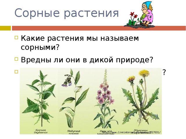 Сорные растения Какие растения мы называем сорными? Вредны ли они в дикой при...