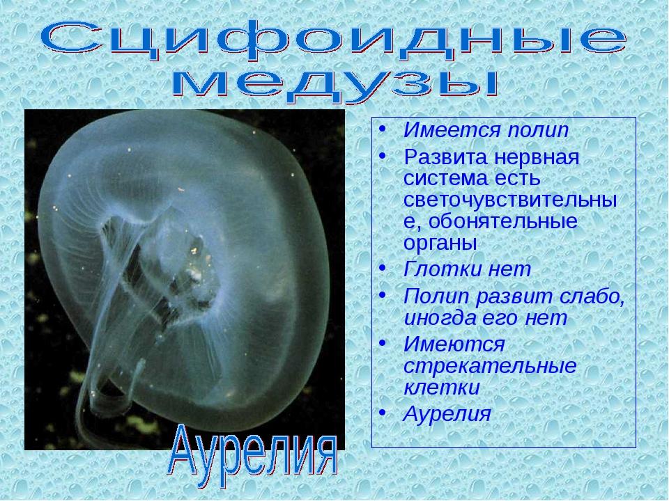 Имеется полип Развита нервная система есть светочувствительные, обонятельные...