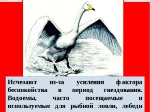 Лебедь-кликун Исчезают из-за усиления фактора беспокойства в период гнездован