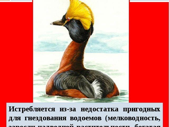 Красношейная поганка Истребляется из-за недостатка пригодных для гнездования...