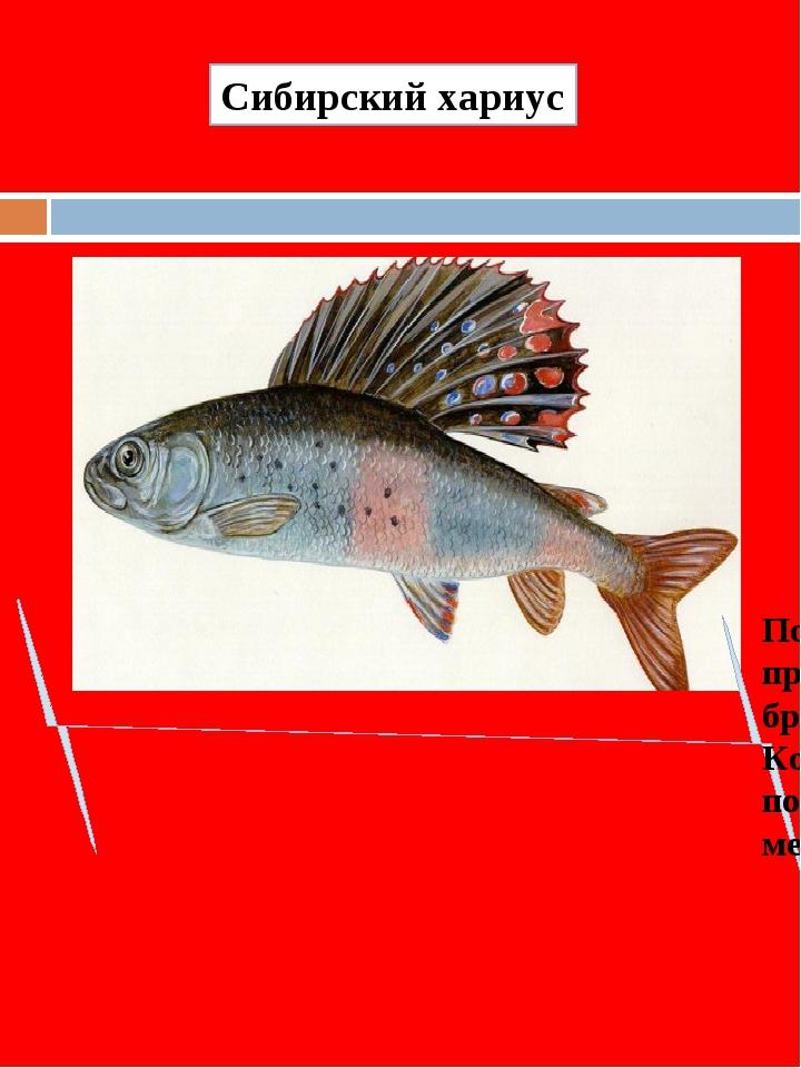 Популяции сибирского хариуса продолжают сокращаться из-за браконьерского лова...