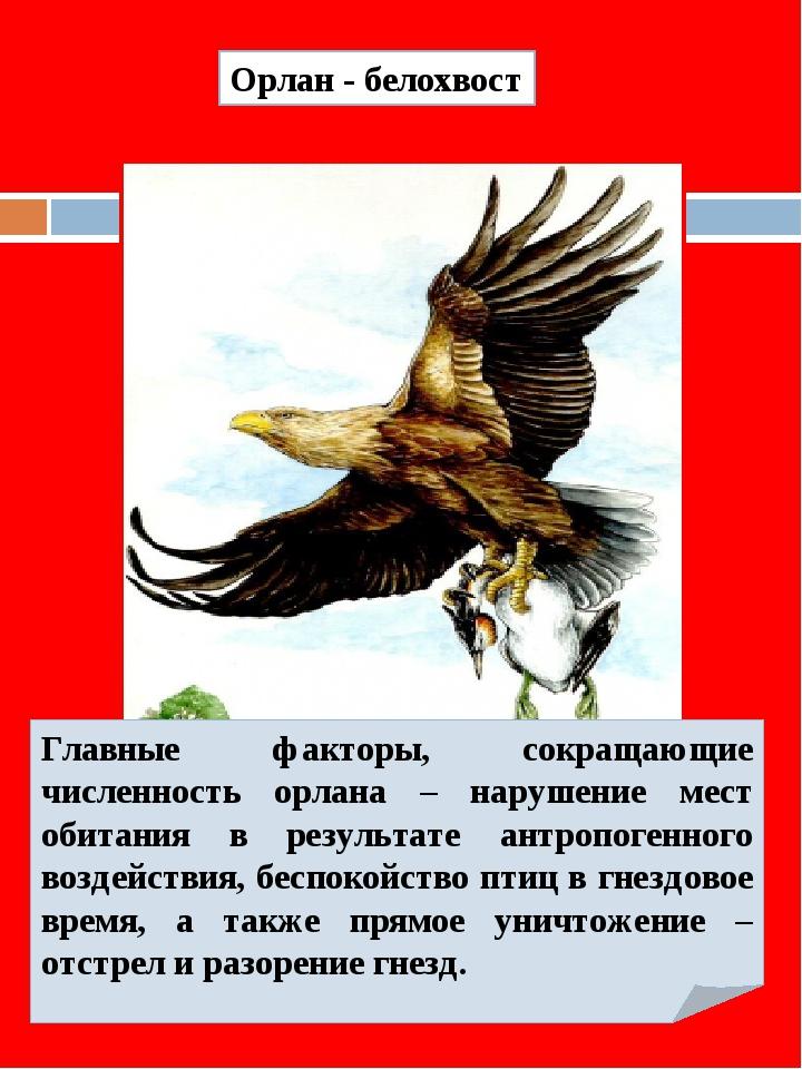 Орлан - белохвост Главные факторы, сокращающие численность орлана – нарушение...