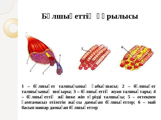 Бұлшықеттің құрылысы 1 – бұлшықет талшығының қабықшасы; 2 – бұлшықет талшығы...